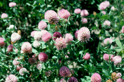 Oregon Red Clover